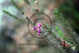 Erica sicula subsp. libanotica (Barb.-Boiss. & Barbey) P.F.Stevens