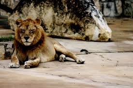 lions teen essay about animal cruelty and endangered extinct species lions