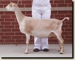 Goat Breeds Lamancha Goats