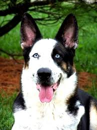 white and black german shepherd. Perfect And German Shepherd Dogs Black And White Spotted  Photo Happy Dog Heaven G