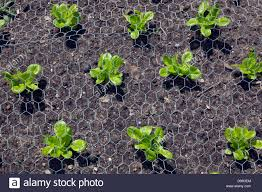 Plants For Kitchen Garden Lettuce Plants In Kitchen Garden Protected From Wood Pigeons