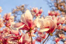 Magnolia, o planta antica foarte rezistenta si usor de intretinut