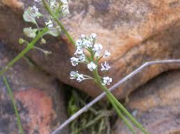 Thlaspi perfoliatum – Wikipédia, a enciclopédia livre
