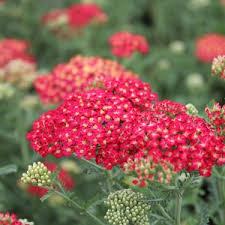 achillea millefolium paprika thumbnail