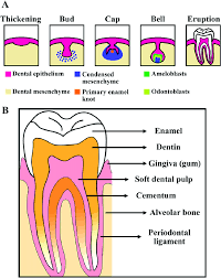 Tooth Structure Diagram Wiring Diagrams