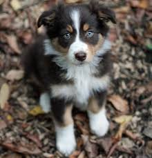 australian shepherd husky mix puppies. Australian Shepherd Husky Mix Intended Puppies