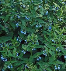 夏の庭薬用ハーブのコンフリーの花の低木