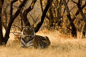 <b>Before they</b> book: letting tourists know the truth about tigers | World ...