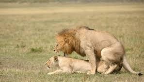 Tokeo la picha la images of a lion in maasai mara