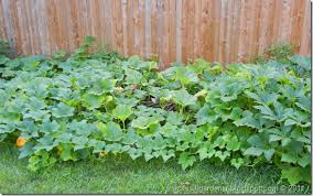 how to plant garden. the pumpkin garden how to plant