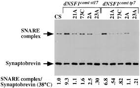 partitioning of n ethylmaleimide sensitive fusion nsf protein figure