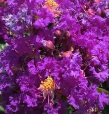 Magic Crepe Myrtle Released by Fleming's | Crepe Myrtles | Fleming's