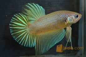 Ikan Cupang Giant Yellow Berkualitas   Tangerang   Jualo