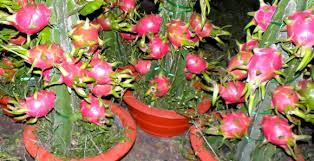 Image result for dragon fruit farm