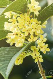 Group Of Sweet Osmanthus Or Sweet Olive Flowers Blossom On Its.. Stock  Photo, Picture And Royalty Free Image. Image 55100405.