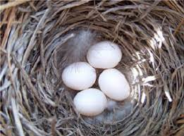 how many eggs per nest and what do they look like the eggs are laid one each day until the entire clutch is plete usually 4 6 powder blue or