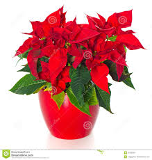 Beautiful poinsettia. red christmas flower
