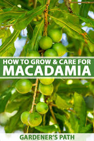 How To Grow And Care For A Macadamia Nut Tree Gardeners Path