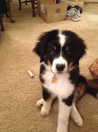 bernese mountain dog mix. Plain Mountain Great Bordernese Great Pyrenees Border Collie And Bernese Mountain Dog Mix  On Mix
