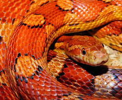 What Do Corn Snakes Eat A Diet Food Guide