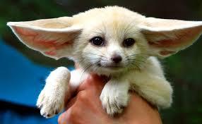 baby fennec fox. Perfect Fennec Baby Fennec Fox  By Floridapfe And Fox