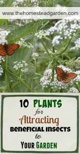 10 plants for attracting beneficial insects to your garden thehomesteadgarden com