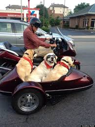 dogs ride sidecar on nashville man s motorcycle photo huffpost