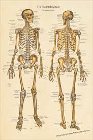 Human Skeletal System Anatomical Chart Created With Vintage