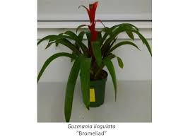 bromeliad plants are good at removing a wide variety of vocs from the air credit vadoud niri