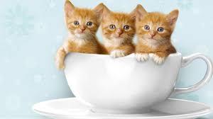 wallpaper cute cat pets