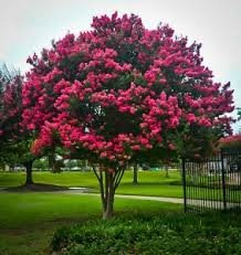 Crape Myrtle Colors Chart Crape Myrtle Varieties And Guide The Tree Center