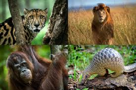 fighting extinction researching and designing solutions to  clockwise from top left a rare male king cheetah a lion a pangolin and a orangutan all members of species that have experienced sharp declines in recent
