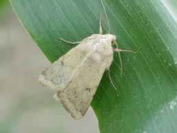 corn earworm | The Bulletin: Pest Management and Crop Development ...