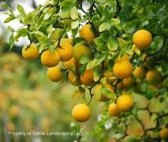 Best 25 Miniature Fruit Trees Ideas On Pinterest  Dwarf Fruit Small Orange Fruit On Tree
