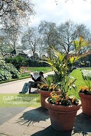 victoria embankment gardens charing cross london tropical palm in large pots with bedding