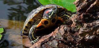 tortuga de florida macho o hembra - Exóticos