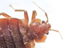 close up photo of the head and thorax of a bed bug