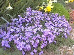 aubretia anne kendall photo and description