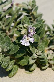 Silene succulenta – Wikipedia