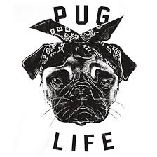 black pug wallpaper tumblr. Modren Pug PUG LIFE With Black Pug Wallpaper Tumblr L