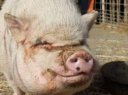 Image result for ugly pig
