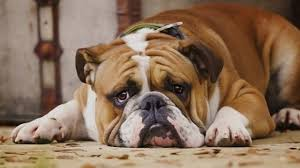 Image result for Picture of an older dog in pain