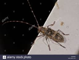 Pine Borer Ribbed Pine Borer Rhagium Inquisitor A Longhorn Beetle Can Be A