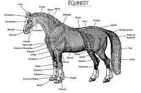 Horse Anatomy Charts Online2lifehorses Weebly Com
