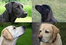 English Labrador Weight Chart By Age Labrador Retriever Wikipedia