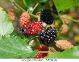 Black Beauty Fruiting Mulberry Bare Root Tree Bush Form Mulberry Tree No Fruit
