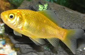 yellow goldfish ile ilgili görsel sonucu