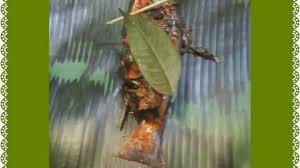 The most common meat used in tinorangsak is pork. Pepes Ikan Patin Daun Kemangi Dimanaja Com