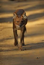 Small Picture 38 best Dhole Dog images on Pinterest Wild dogs Wild animals