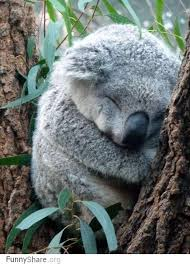 best koala bears images koala bears koalas and  darn you koala we should trade places you can study about humans and i